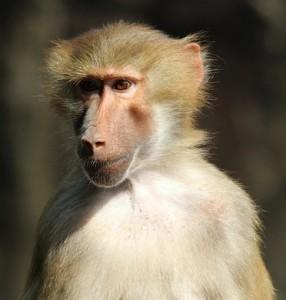 baboon-581739_640