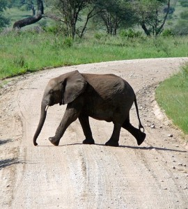 elephant-crossing-joke